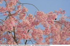 2011-04-14 0448 Sakura, Prunus serrulata, the weeping cherry tree blossoms (Badger 23 / jezevec) Tags: park pink flowers flower tree cherry spring blossom indianapolis blossoms indiana anh bloom  flowering sakura blooms holliday weeping hoa blooming prunus cerezo weepingcherry    kirschblte   jezevec cvijet serrulata shidarezakura prunusserrulata o krsbr   cseresznyevirg japanskt  hoaanho kirsuberjatr badger23 namumulaklak  trenjin    seresang trenjincvijet