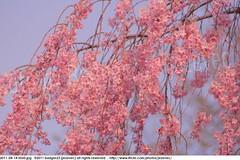 2011-04-14 0560 Sakura, Prunus serrulata, the weeping cherry tree blossoms (Badger 23 / jezevec) Tags: park pink flowers flower tree cherry spring blossom indianapolis blossoms indiana anh bloom  flowering sakura blooms holliday weeping hoa blooming prunus cerezo weepingcherry    kirschblte   jezevec cvijet serrulata shidarezakura prunusserrulata o krsbr   cseresznyevirg japanskt  hoaanho kirsuberjatr badger23 namumulaklak  trenjin    seresang trenjincvijet