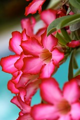 Adenium (secondhobby) Tags: flowers plants nature fruit star hawaii tropical blooms oleander awesomeblossoms