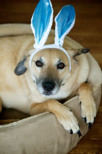 The Easter Beagle, er, I mean shepard mix.