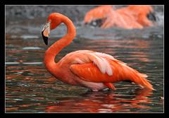 Flamingo (dralun10) Tags: avianexcellence peregrino27life