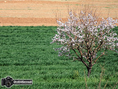 (Saeid Ghasemi) Tags: tree nature spring blossom     khomein