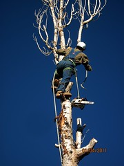 Climbing (Let Ideas Compete) Tags: tree john climb saw down chain climbing cutting trunk essence removal skill donttrythisathome egart treeservicecolorado