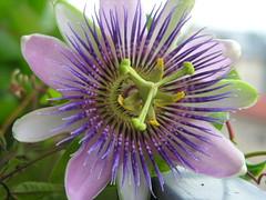 passiflora, il fiore della passione (g.fulvia) Tags: flowers passiflora fiori pasqua passione