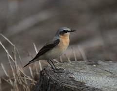 Wheatear up the Glens (Jacqui Herrington:) Tags: bird nature scotland angus wildlife glen migrant wheatear oenantheoenanthe