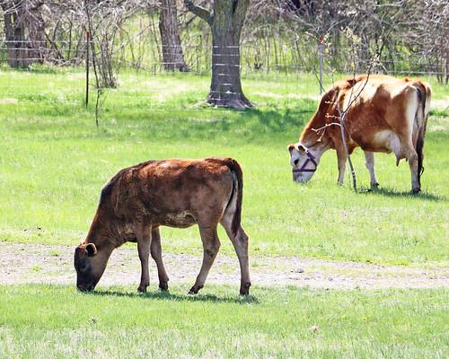 Milk cow in training