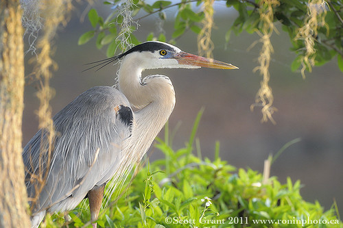 Great Blue Heron in Habitat by Scott Grant