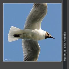 Hettemke - Larus ridibundus-1330 (Viggo Johansen) Tags: birds vgel fugler oiseaux larusridibundus  linnut  hettemke viggojohansen mkefugler mkefamilien