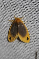 Artaxa nubilosa (Lymantriidae: Nygmininae) (Dr. Alexey Yakovlev) Tags: borneo erebidae moth mounttrusmadi