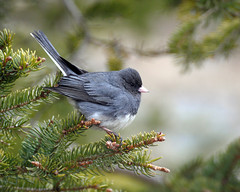 Dark-Eyed Junco (Clyde Barrett) Tags: darkeyedjunco