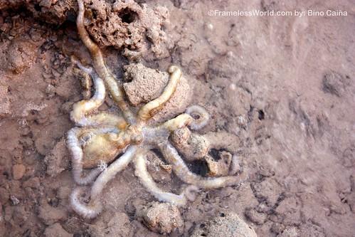 El Nido-Octopus hunting