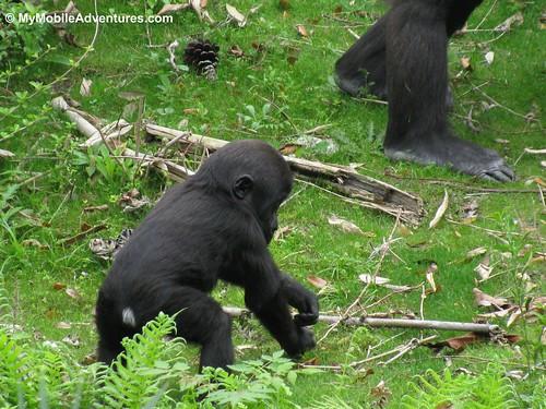 IMG_5320-WDW-DAK-baby-gorilla-itchy