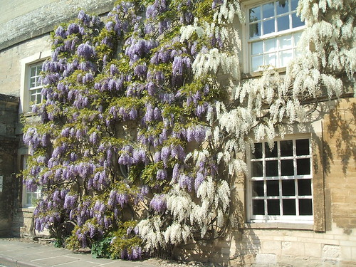 Wisteria in Woodstock