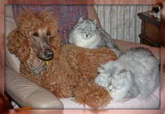 Judd, Mesa (on top), and Bridie Belle (la POOparazzi) Tags: spoo poodle mesa bobtail judd standardpoodle highlandlynx americanbobtail redpoodle curledears highlandercat silverspottedtorbie bridiebelle silverspottedleopard thejuddster spoobestshot