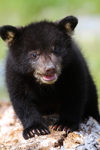 Baby black bear-1.jpg