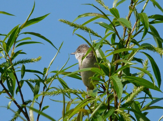 24222 - Whitethroat, Radipole Lake