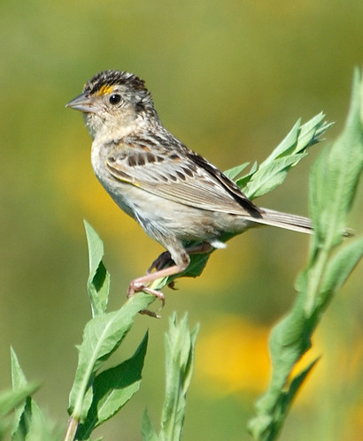 The grasshopper sparrow, which nests exclusively in large grassland fields, is listed as a threatened species in New Jersey. Funds from sunflower seed sales help restore native grasslands in NJ.