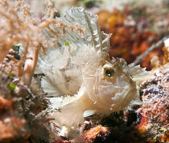 whtlfscorp5414pw (gerb) Tags: fish beautiful topv111 wow topv333 underwater topv999 scuba topv777 d200 animalplanet palau fins tvp scorpionfish aquatica 70180mmf4556dmicro sunkentreasureaward