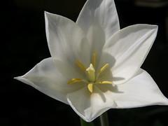tulip macro (lilli2de) Tags: plants nature sunshine germany tulips natur pflanzen blumen april tulpen sonnenschein fllowers finsterwalde 2011 mymothersgarden niederlausitz elbeelster landbrandenburg inmeinermuttersgarten