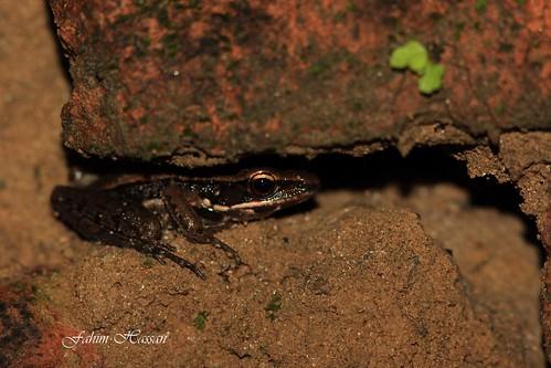 Cope's Assam Frog