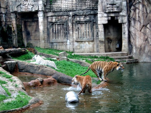 Tigers - Memphis Zoo