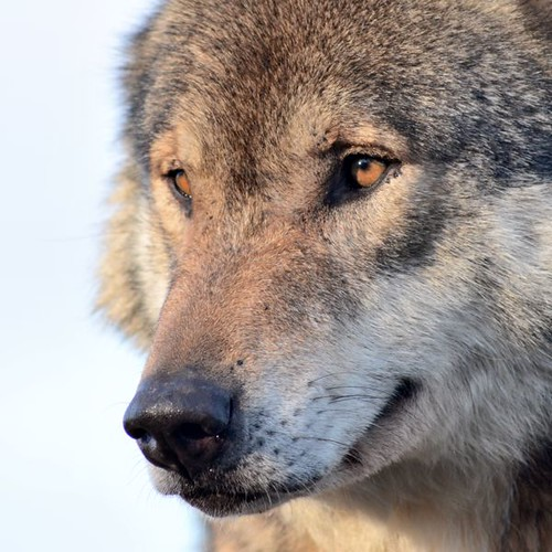 Wolf Head shot by Millerman737