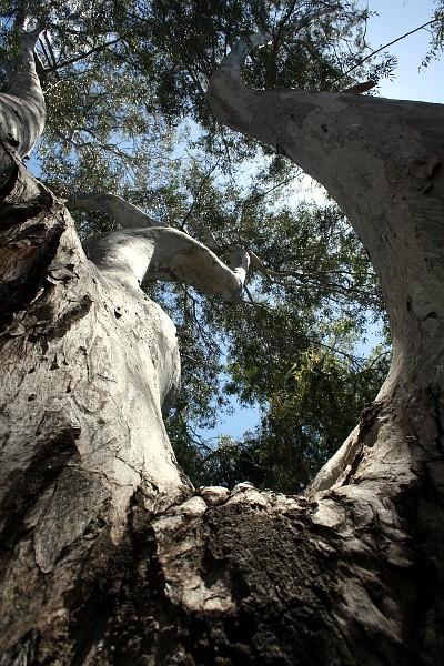 29. Eucalyptus