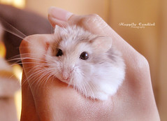 Toupee Turns On His Fluff! (Happily Candied) Tags: pet cute love animal sweet hamster hammy robo jacquestoupee