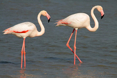 2 of the long-legged (vil.sandi) Tags: bird phoenicopterusruber greaterflamingo camargue rosaflamingo lagunes saltedwater