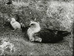 Skua gull with baby