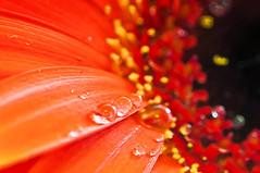 Day 354 7th May 2011 Queuing Droplets (Chris Willis 10) Tags: orange flower simon water rain drop gerbera sait simonsait