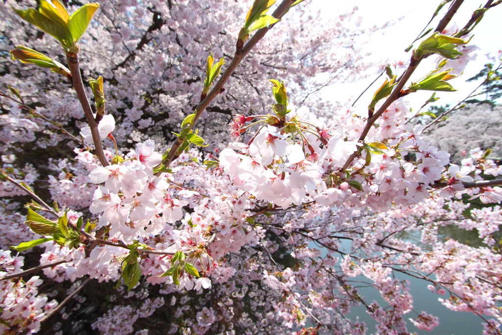 Hirosaki Park Sakura (9)