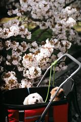 attention stealer (kaori.ikt) Tags: dog flower film japan cherry temple 50mm iso200 spring kyoto f14  sakura  primera  pentaxme perutz ninnajitemple