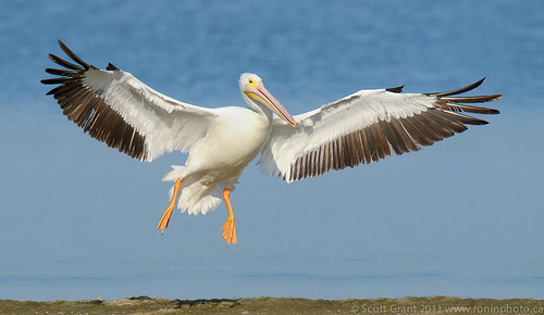 Landing White Pelican by Scott Grant