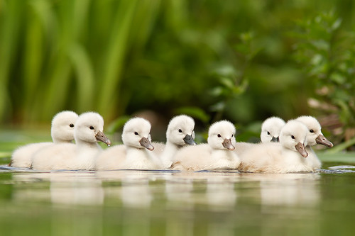 Not so ugly Ducklings by Roeselien Raimond
