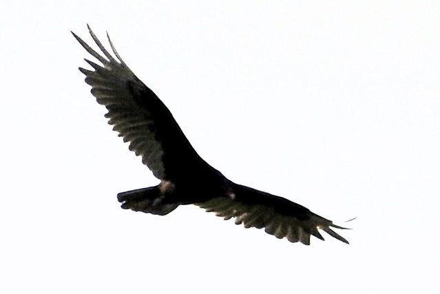 flying turkey  vulture