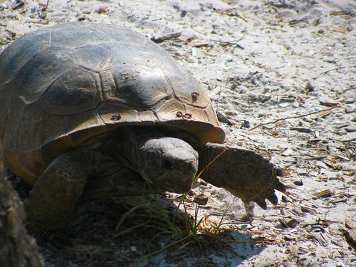 IMG_5627-Bowditch-gopher-tortoise