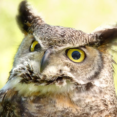 The Great Horned Owl watching the alps mountains for prey (Bn) Tags: mountains alps eye yellow geotagged austria eyes topf50 close dusk great watching alpine valley owl prey northern topf100 topf200 owls birdofprey falconry oehoe horned rauris uil occidentalis canadese roofvogel hochalm 100faves 50faves 200faves hootowls bubovirginianuswapacuthu nationalparkhohetauern rauristal wingedtiger northerngreathornedowl avianexcellence catowls tigerowl hennysanimals canadianeagleowl canadianoehoe virgianus hochalmbirdofprey bubovirgianusoccidentalis geo:lon=12962456 geo:lat=47228938