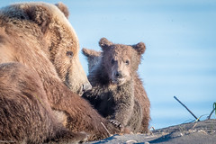Mum with cubs (Nedko Nedkov) Tags: 2016 alaska amerca bear grizzly june usa wildlife