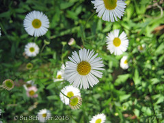 Tiny white daisies: close up (Su_G) Tags: sug 2016 daisy daisies whiteflower closeup flower flowers flowerblossom blossom dainty nature floral spring sydneynsw