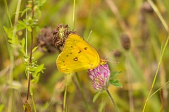 7K8A9891 (rpealit) Tags: scenery wildlife nature mahlon dickerson reservation snow bowl jefferson twp orange sulphur butterfly
