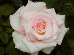 After rain... (NaturewithMar) Tags: rose rosa macro raindrops leaves flower
