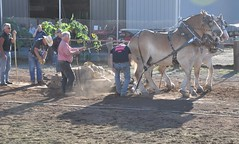 2016 Durham CT Fair (caboose_rodeo) Tags: 1002 contest drafthorsepulling drafthorse belgians dust backlit
