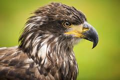Junger Weißkopfseeadler (DeanB Photography) Tags: adlerwarte berlebeck weiskopfseeadler adler vogel greifvogel gefährlich