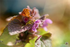 Taubnessel  /  Lamium (Ellenore56) Tags: flowers light sun sunlight inspiration flower color colour macro nature floral garden botanical licht march photo weeds weed flora foto emotion blossom magic natur perspective blumen medical bloom vista environment imagination botanic outlook moment blume makro blte magical sonne farbe garten mrz perspektive ecological dud umwelt augenblick florescence lamium l