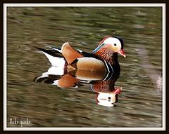 Mandarin Duck (flickr quickr) Tags: ducks mandarinduck eyeworthpond