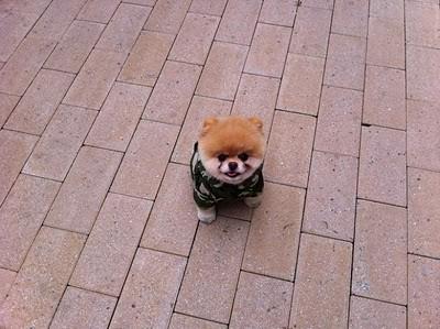 boo_Pomeranian_Dog_14
