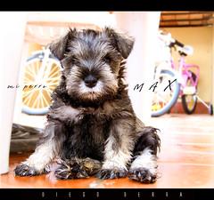 Max, mi mascota. raza Schnauzer mini (DiEgo bErrA) Tags: dog schnauzer perro mascota
