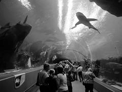 when people attack (frankieleon) Tags: people blackandwhite bw fish water shark interestingness interesting bestof tank attack cc creativecommons georgiaaquarium popular frankieleon