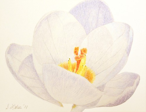 Purple Crocus in Sunlight, colored pencil
